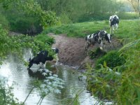 The_Hoolgrave_Holsteins_Drinking_In_The_Weaver